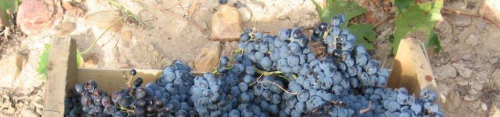 cropped-cropped-vendimia-cajon-uvas-1