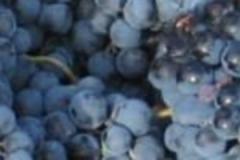 cropped-cropped-vendimia-cajon-uvas